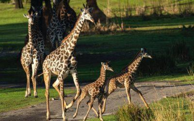 Maple y Zella, 2 adorables baby jirafas