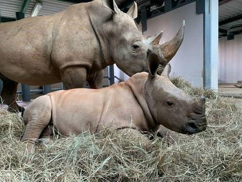 Baby rinoceronte ya tiene nombre